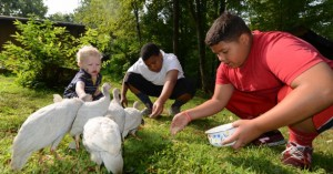 Ezra Seyler, 1, helps Savion Hawkins, 12, and Lucius Orellanes, 11, feed the guinea hens at his family's home in Cowansville. The Harlem teens are staying with Kayla and Gregory Seyler and their children for two weeks as part of the Fresh Air Fund program.